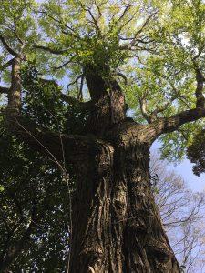 井の頭公園の木